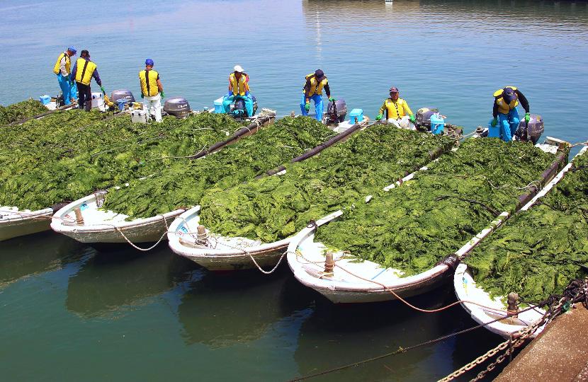 アナアオサ漁師たち