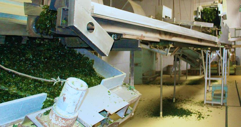 アオサ粉製造工程 乾燥機